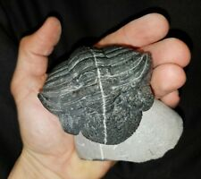 Massive rolled Drotops Trilobite with white calcite vein Devonian of Morocco