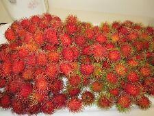 "8"" Tall Rambutan Plant Tropical Fruit Tree Nephelium lappaceum"