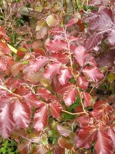 Purple Copper BEECH TREE Fagus Sylvatica Purpurea Potted 3ft Hedge Garden Patio