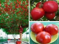 Seeds European Tomato Tree Giant as Tamarillo Vegetable Organic Heirloom Ukraine