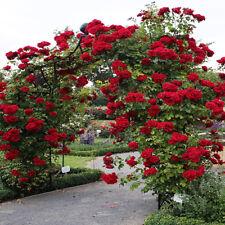 More details for red climbing rose seeds garden flower plant seedlings, (buy 1 get 1 15% off)