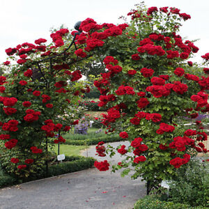 Red Climbing Rose Seeds Garden Flower Plant Seedlings, (Buy 1 Get 1 15% Off)