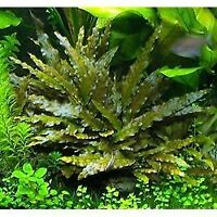 *BUY 2 GET 1 FREE* Cryptocoryne Wendtii Red Crypt Wendtii Live Aquarium Plants ✅