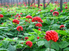 50 Panax Ginseng Plant Seeds Chinese Root of Life Health Medical for Garden Home