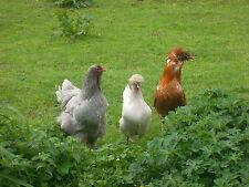 Aus Tierheilpraxis; 6 Kräuter-Wurmkur für Hühner, Enten usw (bewährte Mischung)