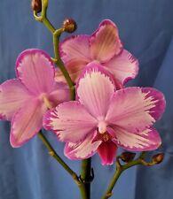 Orchidee Phalaenopsis Toshi, blühend (warm. Versand)