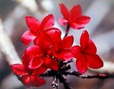 4 Hawaiian Red Plumeria Plant Cuttings ~ Grow Hawaii