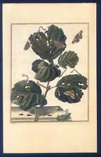 Schmetterlinge-Insekten-Bäume-Botanik-Entomologie-Kupferstich L'Admiral 1740