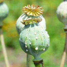 Afghan Papaver Somniferum 20000 poppy seeds 10 grams