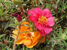 sun plants Flower seed 200 seeds Portulaca Grandiflora garden yard patio