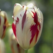Grand Perfection Tulip Bulbs - 10 Tulip Bulbs, Fall Planting Bulbs.Shipping now!