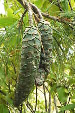 New listing Himalayan White Pine 50 seeds. trees, seeds
