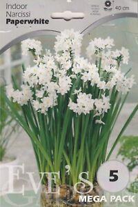 indoor Daffodil Narcis Paperwhites   - 5 Bulbs Per Pack 40cm