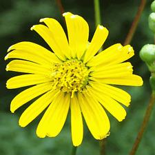 15 Prairie Dock Wildflower Seeds - Everwilde Farms Mylar Seed Packet