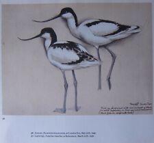 BEAUTIFUL TUNNICLIFFE BIRD PRINT ~ AVOCETS AT LONDON ZOO