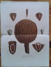 Van Houtte Araucaria excelsa