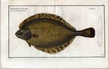 Fische-Angeln-Kupferstich Bloch 1782 Pleuronectes Passer-Stachelflunder-Flounder