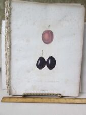 Vintage Print,ELEANOR PRUNE,Fruit Print,Natural History NY,1851