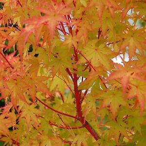 Acer palmatum Sango Kaku PINK STEM JAPANESE MAPLE Seeds