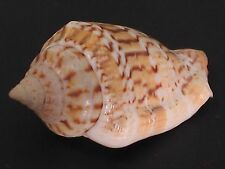 WoW Form...STROMBUS MUTABILE F. ZEBRIOLATUS w/o~28.8mm~Philippine SEASHELL