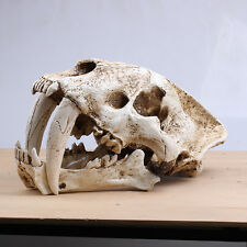 New Saber Tooth Cat Tiger Skull Sabertooth Smilodon Fatalis Model Grey White