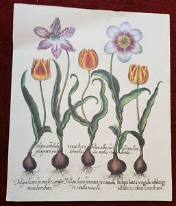 Tavola botanica dell'Hortus Eystettensis ABOCA stampa quadro TULIPA TULIPARUM