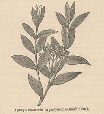 C9000 Apocynum cannabinum - Xilografia d'epoca - 1892 Vintage engraving