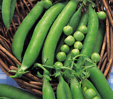 Verduras PEA Meteor enano primera temprano 420 semillas más finos