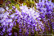 WISTERIA SINENSIS chinese rare flowering purple climbing vine seed 10 seeds