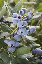 3 'Bluecrop' Blueberry Plants / Vaccinium cor. 'Bluecrop' 25cm In 9cm Pots