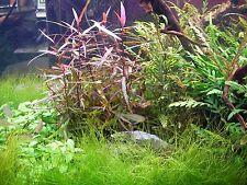 2 bouquets de polygonum species plante aquarium rare crevette  nouveaute rare
