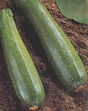 Squash Summer Aristocrat Vegetable Seeds