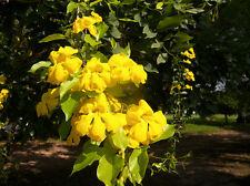 Uña de Gato - DOLICHANDRA UNGUIS - CATI - 10 Semillas - Flor Amarilla