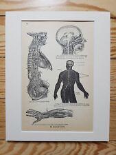 Human Nervous System - Vintage antique Medical print 1884, b&w matted 8x10 brain