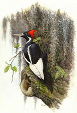 Ivory-billed Woodpecker Print Artist Edition Size 300 by Michael DiGiorgio
