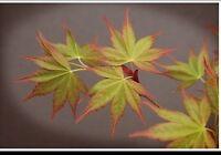 Acer Palmatum Aobo Jo
