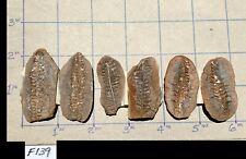 ☆Three 2 Inch - Mazon Creek Ptychocarpus Unitus Fern Fossil ☆ Twisted Sisters ☆
