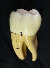 Vintage Sargent-Welch Scientific Anatomical Tooth Model