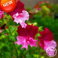 20 PCS Seeds Color Geranium Bonsai Perennial Flowers Pelargonium Graveolens Rare