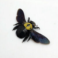 Black Gold Carpenter Bee Xylocopa confusa Insect Specimen Indonesia (F)