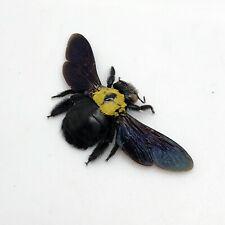 Black Gold Carpenter Bee Xylocopa confusa Insect Specimen Indonesia (F)