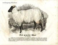 The Common Sheep, 1841 Original Antique Wood Engraving.