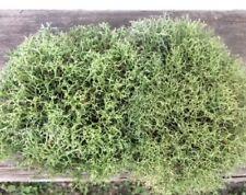 Reindeer Moss, 1 Gal, Natural, Terrariums, Wreaths, Wedding Decor, Free Shipping