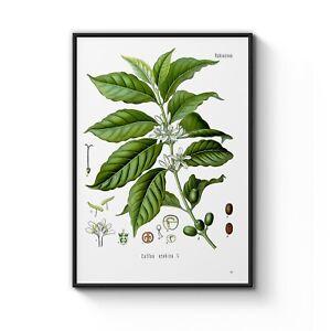 Vintage Arabica Coffee Leaf Drawing Botanical Art Poster Print - A4 to A2 Framed