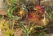 WHOLESALE airplants mix of 5
