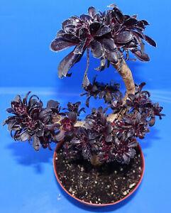 31054Aeonium arboreum 'Zwartkop' cristata – Black Rose, phyto available