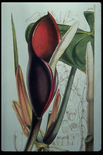 394032 Philodendron Erubescens A4 Photo Print