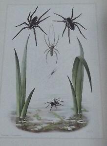 Objet scolaire planche insecte N°185 TÉTRAGNATHE,ARAIGNÉE PIRATE ,DOLOMÈDE