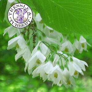 Rare Japanese Snowbell  Tree Styrax Japonica 3 seeds UK SELLER
