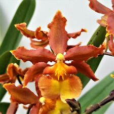 """""""Volcano Queen"""" orchid - Blooming Size plant - Unusual Color - Easy to bloom!"""